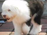 古代牧羊犬白头通背双蓝眼特价出售签协议保健康可送货