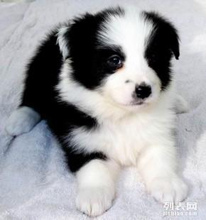 重庆哪里有纯种健康边牧巴哥买重庆什么地方可以买到边牧狗