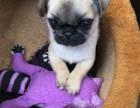 出售巴哥幼犬包纯种品质健康独有保障欢迎上门选购
