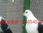 出售白芙蓉,两头红,两头乌,天使鸽,弯嘴大鼻子,黄毛领,燕子