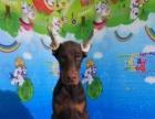 德系双血统杜宾犬,自己家养的,可视频看狗