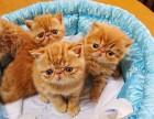 专业繁殖精品加菲猫 疫苗齐全 活泼可爱 超长保质支持货到付款