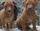 重庆出售比特幼犬大体型健康比特犬