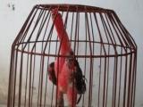 南宁凭祥越南纯种斗鸡销售
