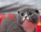 A喵屋纯种2个半月英短蓝白蓝猫