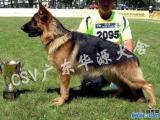 佛山正规犬舍 佛山CSV注册犬舍出售精品德国牧羊犬