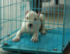 纯种杜高狗狗卖 **杜高幼犬三个月 猎犬之王