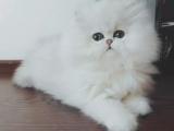 仙女貓金吉拉 幼貓出售 純種貓咪無病無癬