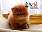 纯种加菲猫猫舍 上海爱宠网 多只挑选