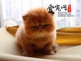 纯种加菲猫猫舍 上海爱宠网 20年品牌保证签协议