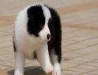 边牧的智商有多高 大概一只边牧幼犬多少钱