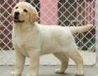 广州纯种拉布拉多犬一只多少钱 品质保障 国庆期间有优惠签协议