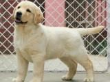 佛山拉布拉多犬价格 狗场直销二十多个纯种名犬 疫苗齐可送货