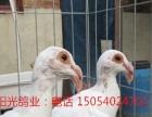 出售观赏鸽种鸽,喜鹊,燕子,马甲凤尾,金鱼鸽,两头乌,海鸥等