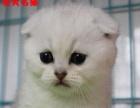 英国短毛猫 起司猫 虎斑猫 银渐层 折耳猫 美短