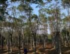15公分移植栾树 16公分栾树价格-益阳市维宇苗木基地