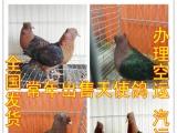 湘潭倒插鸽价格 金鱼鸽 芙蓉鸽 元宝鸽 淑女鸽 两头乌 点子