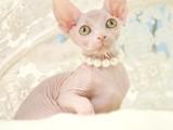 无毛猫幼猫纯种活体斯芬克斯德文猫咪