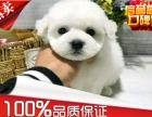 法国卷毛比熊幼犬出售 签协议保健康 不掉毛小体比熊