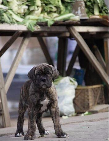 纯种卡斯罗犬幼犬现在什么价格多少钱一只