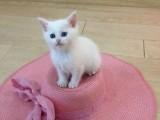 家养繁殖精品波斯猫 包纯种健康 多只可选 可上门看