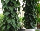 泉州公司绿植盆栽批发花卉绿植租摆盆栽租赁