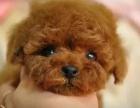 纯种泰迪幼犬贵宾犬巧克力泰迪包健康可上门