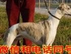 格力犬养殖场卖格力犬灵缇犬惠比特格惠串细狗价格