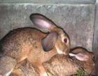 獭兔种兔新西兰种兔出售