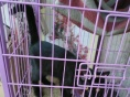 孟买猫 现没时间照料 价格可协商