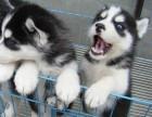 哈士奇犬哈士奇幼犬纯种家养繁殖哈士奇出售精品家养活体宠物狗