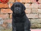 出售纯种拉布拉多幼犬 赛级品质 健康质保 免费