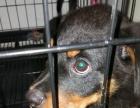 1.2米大狗铁笼适合各种大型犬只