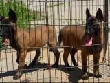 襄樊马犬价格 高加索犬 狼青犬 黑狼犬 德国牧羊犬多少钱一只