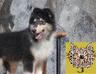 最低的价格 最好的品质 双优苏格兰牧羊犬