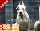 宠物狗 纯种杜高幼犬 视频看狗 免费送货上门