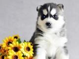 佛山买宠物狗哈士奇大概多少钱一只 签健康协议