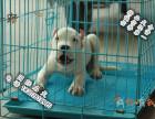 家养纯种杜高犬便宜出售了 喜欢的可以加我详聊