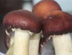 山东天雨润园林下经济基地 新鲜蘑菇、大球盖菇采摘