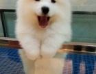 自家萨摩耶幼犬宝宝免费找人领养 公母都有