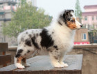 出售纯种喜乐蒂 可爱活泼小型犬 公母均有 保健康