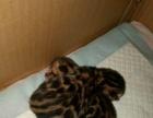 自家繁育英短蓝猫孟加拉豹猫