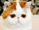 纯种【精品加菲猫】【**净梵三花】健康可爱 包子脸热销中