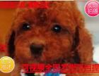 精品犬舍直销出生3个月的泰迪7只(5公/2母)