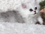 广东珠海纯种金吉拉幼猫猫舍特惠
