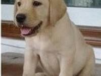 南宁出售纯种拉布拉多犬拉布拉多幼犬导盲犬神犬小七活体宠物狗