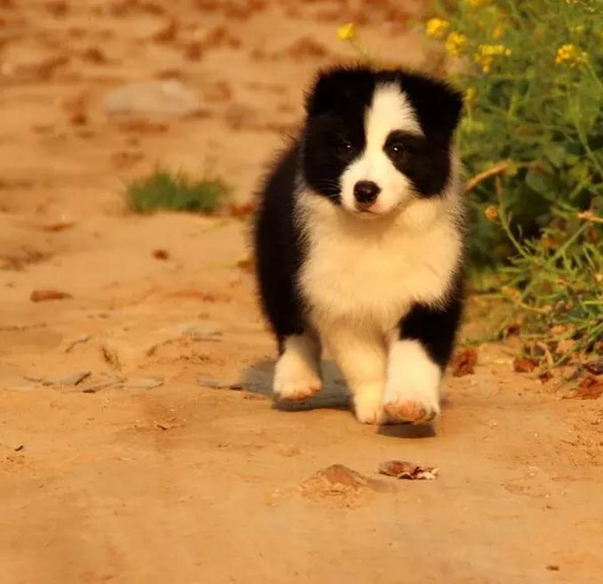 温州黑白边境牧羊犬怎么卖的 咖啡色边牧价格 聪明边境牧羊犬