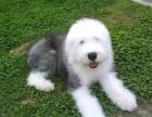 英国古代牧羊犬是健壮紧凑和谐的品种非常迷人被毛丰厚