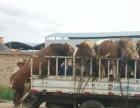 大量出售品种肉牛牛犊西门塔尔利木赞夏洛莱安格斯