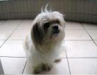 西施犬纯种家养繁殖西施犬出售精品家养活体宠物狗